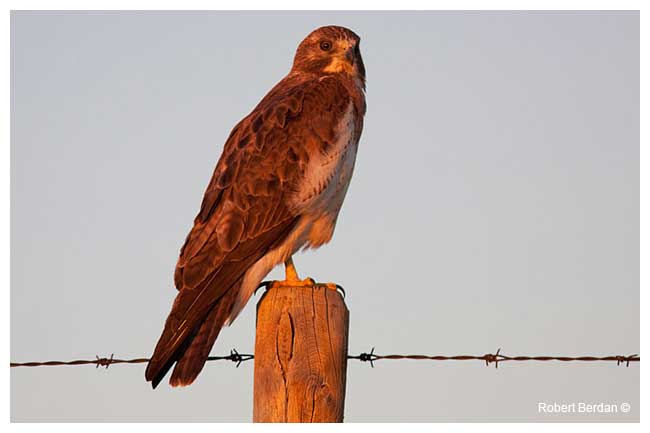 Red-tailed Hawk by Robert Berdan ©