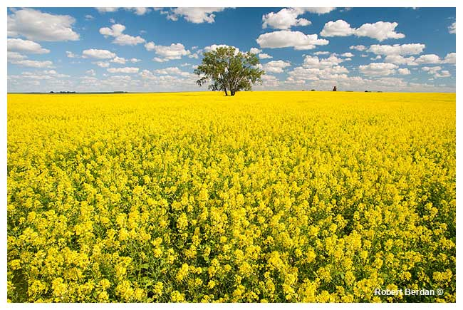 Canola fields south of Leader Saskachewan by Robert Berdan ©