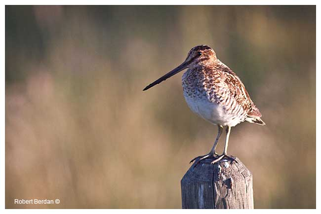 Common snipe by Robert Berdan ©