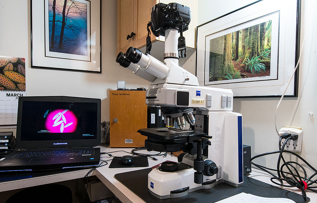 Zeiss Axioscope microscope with Nikon D500 attached by Robert Berdan ©