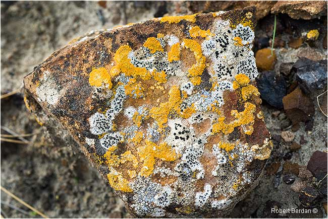 Lichen at Red Rock Coulee by Robert Berdan ©