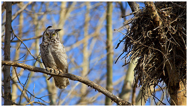 Great Horned owl at Nest by Robert Berdan ©
