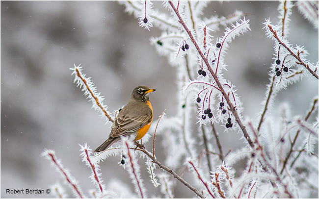 Robin in spring on branches covered in hoar frost by Robert Berdan ©