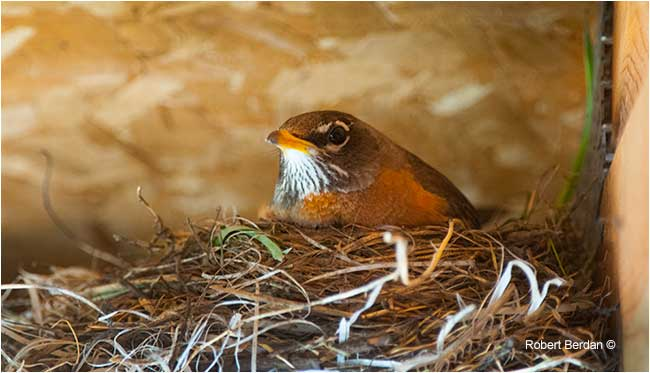 Female robin at the nest by Robert Berdan ©