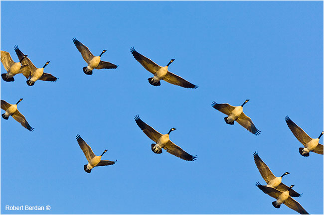 Canada Geese flying against the blue sky by Robert Berdan ©