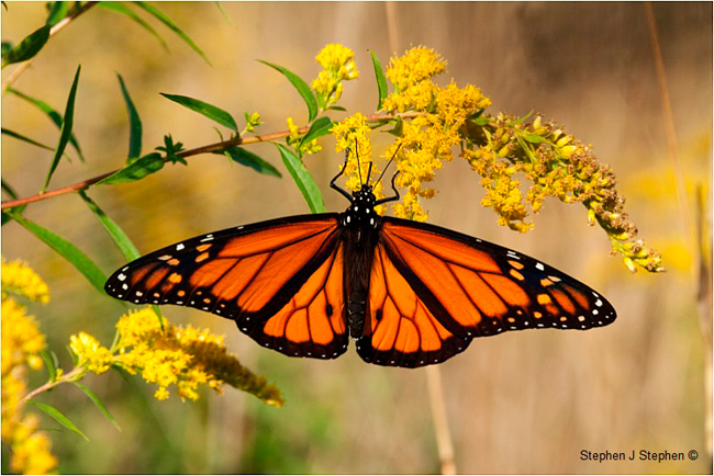 Monarch Butterfly on Goldenrod by Stephen J. Stephen ©