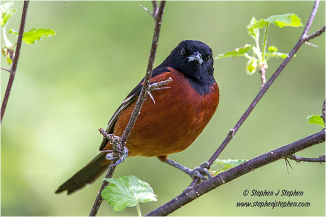 Orchard Oriole by Stephen J. Stephen ©