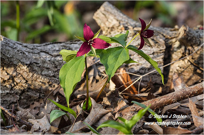 Red Trilliums by Stephen J. Stephen ©