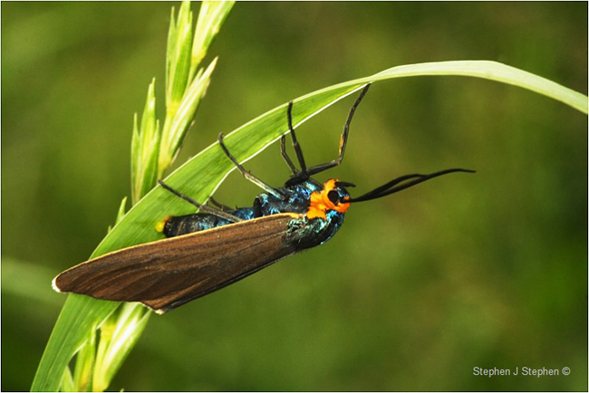 Virginia Ctenucha moth by Stephen J. Stephen ©
