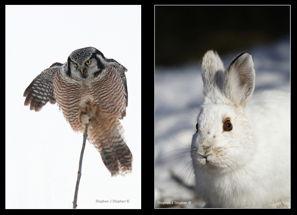 Northern Hawk Owl and Snowshoe Hare by Stephen J. Stephen ©