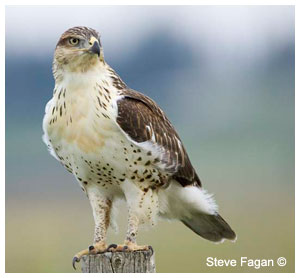 Hawk by Steve Fagan ©