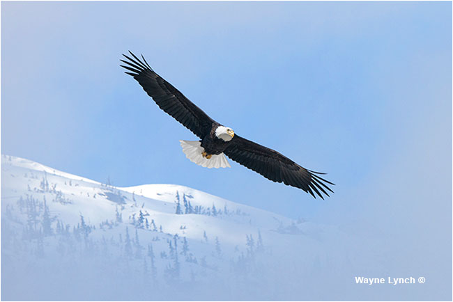 Bald eagle Dr. Wayne Lynch ©