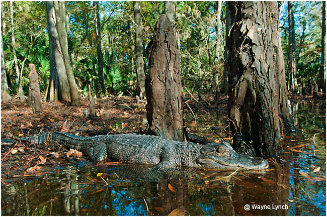 Basking Gator by Dr. Wayne Lynch ©