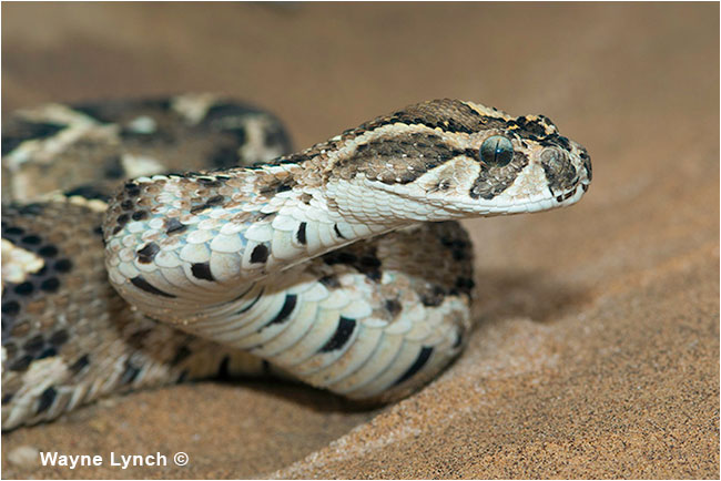 Puff Adder, Namibia by Dr. Wayne Lynch ©