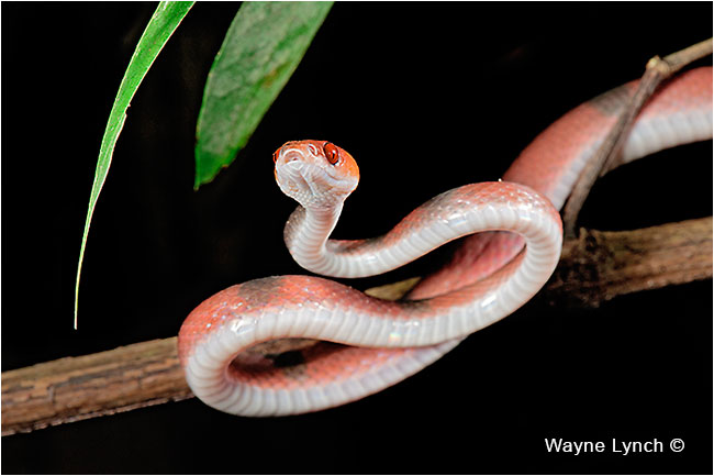 Banded Treesnake  by Dr. Wayne Lynch ©