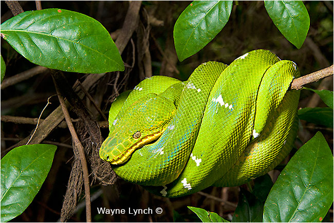 Emerald Tree Boa, Guyana  by Dr. Wayne Lynch ©