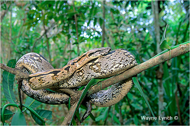 Madagascar Tree Boa by Dr. Wayne Lynch ©