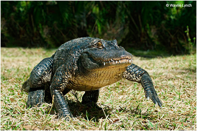 Gator high walk by Dr. Wayne Lynch ©