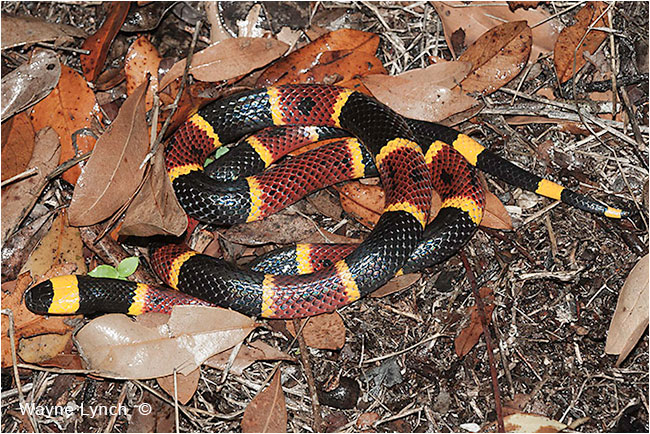 Venomous Coral Snake, Florida  by Dr. Wayne Lynch ©
