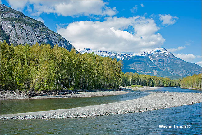 Bella Coola River by Dr. Wayne Lynch ©