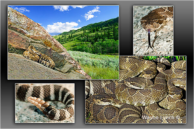 Western Rattelsnake, Okanagan Valley, BC  by Dr. Wayne Lynch ©