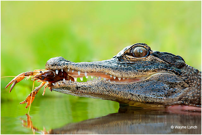 Gator Preying on Crayfish ©