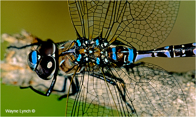 Dragonfly from SUV Grill  by Dr. Wayne Lynch ©