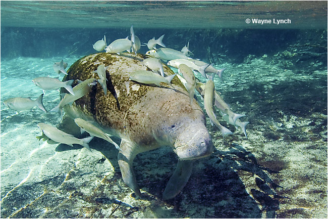 Manatee surrounded by school of fish by Dr. Wayne Lynch ©
