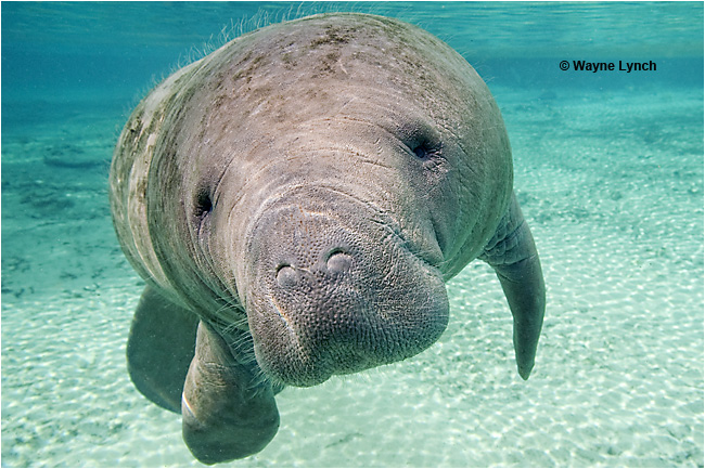 Florida Manatee by Dr. Wayne Lynch ©