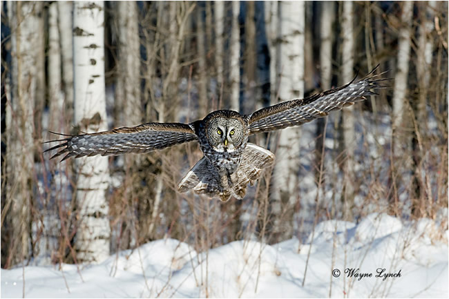 Hunting Great Gray Owl by Dr. Wayne Lynch ©
