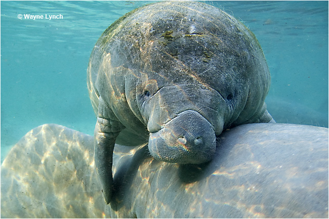 Manatee mother and calf by Dr. Wayne Lynch ©