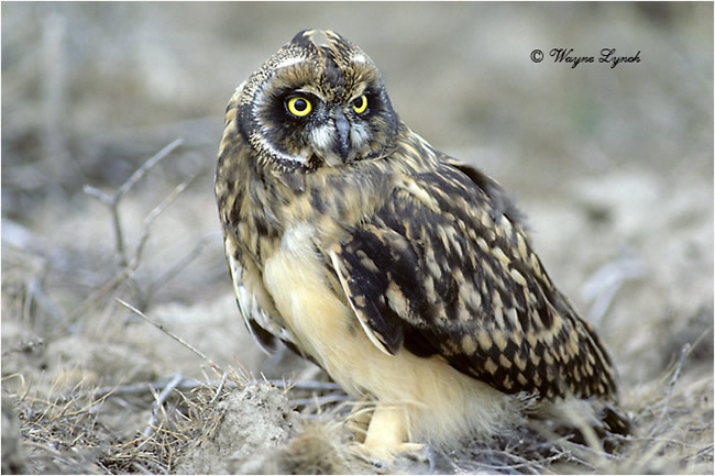 Short-eared owl by Dr. Wayne Lynch ©