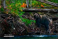 Grizzly bear Bella Coola British Columbia by Robert Berdan