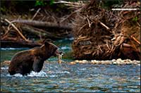 Grizzly bear with salmon Bella Coola British Columbia by Robert Berdan