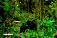 Black bears in Great Bear rainforest by Robert Berdan