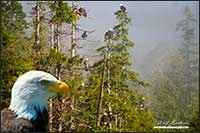 Eagles in Great Bear Rainforest - composite image by Robert Berdan