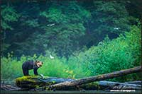 Grizzly bear and salmon in Great Bear Rainforest British Columbia by  Robert Berdan