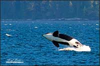 Orca - Killer whale in the strait of Georgia between Vancouver Island and the mainland by Robert Berdan