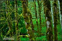 Alder trees covered in moss Vancouver Island British Columbia by Robert Berdan