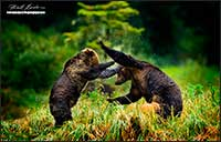 Young Grizzly bears play in the Great Bear Rainforest British Columbia by Robert Berdan