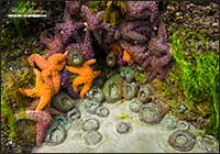 Ochre stars and Anemones Bamfield Vancouver Island by Robert Berdan
