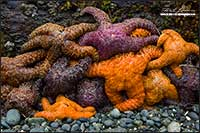 Close up of a Ochre Stars (Pisaster ochraceus) by Robert Berdan