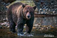 Grizzly bear at fishing hole Bella Coola British Columbia by Robert Berdan