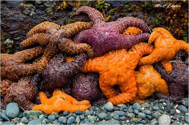Sea Stars by Robert Berdan ©