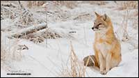 Swift fox in winter by Robert Berdan