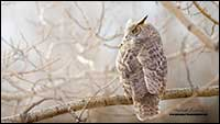 Great Horned Owl in Calgary by Robert Berdan