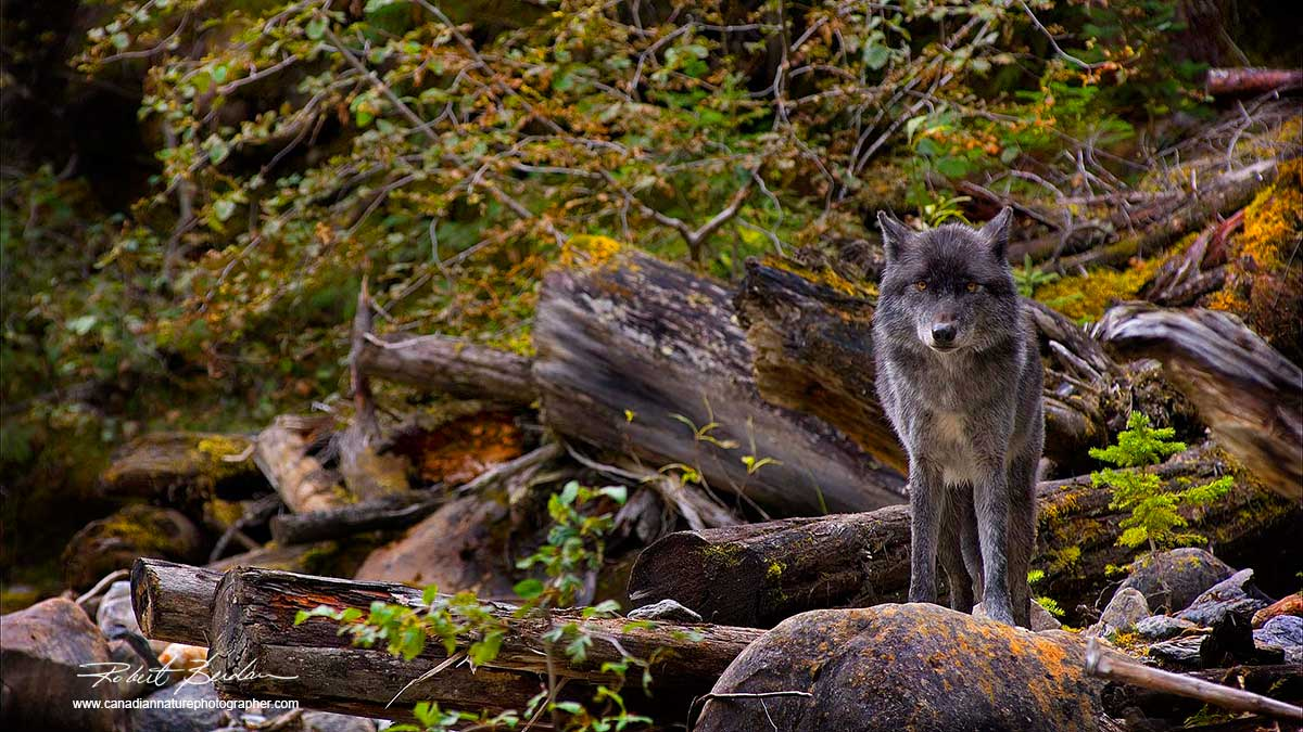 Black wolf Golden, BC. captive by Robert Berdan