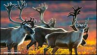 Barren land Caribou Northwest Territories by Robert Berdan