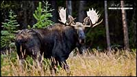 Bull moose in Kananaskis by Robert Berdan