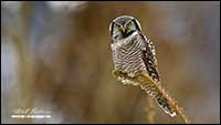 Northern Hawk Owl Banff National Park by Robert Berdan